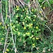 Viola biflora L.<br />Violaceae<br /><br />Viola montana gialla.<br />Violette à deux fleures.<br />Gelbes Gelb-Veilchen.