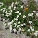 Achillea erba-rotta subsp. Moschata (Wulfen) Vacc.<br />Asteraceae<br /><br />Millefoglie del granito.<br />Achilée musquée.<br />Moschus Schafgarbe.