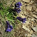 Gentiana acaulis L.<br />Gentianaceae<br /><br />Genziana di Koch.<br />Gentriane de Koch.<br />Silikat-Glocken-Enzian.