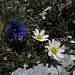 Keine Blume aus dem Geschäft kann so schön sein, wie die in freier Natur!<br /><br />Nessun fiore comprato in un negozio può essere così bello come quelli in piena natura!