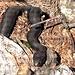 Kreuzotter (Höllenotter) im Reptilienzoo