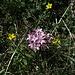 Endlich blühen die Steinröserl wieder / finalmente in fiore anche la Daphne striata