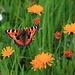 Kleiner Fuchs in Blumenwiese