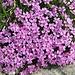 Schönes Blumenpolster - möglicherweise eine Kalk-Polsternelke