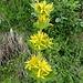 Die Gelben Enziana blühen im Nesselboden
