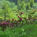 ...auch hier beginnen die Alpenrosen zu blühen.