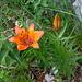 Orange lily (Lilium bulbiferum) next to the trail.