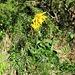 Arnica montana L.<br />Asteraceae<br /><br />Arnica.<br />Arnica.<br />Arnika.<br /><br />