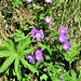 Geranium sylvaticum L.<br />Geraniaceae<br /><br />Geranio silvano.<br />Geranium des bois.<br />Wald Storchschnabel.
