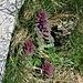Ajuga pyramidalis L.<br />Lamiaceae<br /><br />Iva piramidale.<br />Bugle pyramidale.<br />Pyramiden-Günsel.