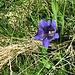Gentiana acaulis L.<br />Gentianaceae<br /><br />Genziana di Koch.<br />Gentiane de Koch.<br />Silikat-Glocken-Enzian.