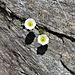 Ranunculus glacialis L.<br />Ranunculaceae<br /><br />Ranuncolo glaciale.<br />Renoncule des glaciers.<br />Gletscher- Hahnenfuss.