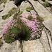 Silene acaulis (L.) Jacq.<br />Caryophillaceae<br /><br />Silene a cuscinetto.<br />Silène acaule.<br />Kalk-Posternelke.<br /><br />