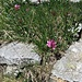 Trifolium alpinum L.<br />Fabaceae<br /><br />Trifoglio alpino. <br />Trèfle des Alpes.<br />Alpen-Klee.