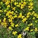 Lotus alpinus (DC.) Ramond<br />Fabaceae<br /><br />Ginestrino delle Alpi.<br />Lotier des Alpes.<br />Alpen-Hornklee.