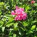Rhododendron ferrugineum L.<br />Ericaceae<br /><br />Rododendro rosso.<br />Rhododendron ferrugineaux.<br />Rostblättrige Alpenrose.