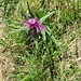 Centaurea jacea ?