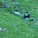 capre o pecore  sopra Fontanè