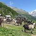 le belle capre all'alpe Pozzo
