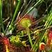 Fleisch fressende Pflanze:  Rundblättriger Sonnentau, Drosera rotundifolia, pianta carnivora