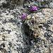 Rissklettern leicht gemacht: Leimprimeln im wunderbar grobkörnigen Aaregranit