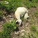 Beim Abstieg pennen viele Schafe auf dem Weg