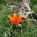 Feuerlilie in den Schnüer
