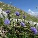 Der Chreialpfirst ist ein Blumenparadies: hier Kugelblumen