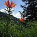Feuerlilien in den Schnüer oberhalb Tesel