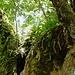 Detail des Ahorns. Der Baum ist voller Farne. ....