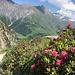 Alpenrosenblüte oberhalb von La Fouly