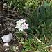 Die Blüten dieses Mannsschild (Haariger oder Zottiger?) verfärben sich nach der Bestäubung rosa. Sie zeigen damit Insekten an, dass sich ihr Besuch nicht mehr lohnt.