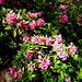 Alpenrose, schönste Rose