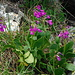 These flowers I have not seen very often. Primula farinosa?
