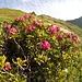 <b>Il tratto successivo, tra Schiena d'Asino e l'Alpe di Pontino, è caratterizzato da una spettacolare fioritura di rododendri, che ricoprono i versanti assieme ai ripari antivalanghe. Le marmotte, numerose su questo versante rivolto a sud, non sembrerebbero particolarmente schive.</b>