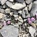 Zarte Pflänzchen blühen fröhlich in der wilden Geröllhalde (rundblättriges Täschelkraut)
