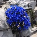 Und immer wieder Blumen: vorallem im Aufstieg auf der Braunwalder-Seite gibt es für Botaniker viel zu sehen (Frühlingsenzian)