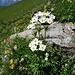 Die Narzissen-blütigen Anemonen sind sehr schön