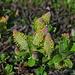 blühende  Purpur-Weiden