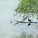 Unten am See ein Blässhuhn