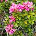 ... und immer wieder die Rostblättrige Alpenrose (Rhododendron ferrugineum)