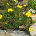 Und zum Schluss noch etwas in Gelb: Hornklee (Lotus corniculatus)