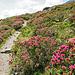 Das Alpenrosenparadies beginnt