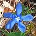 Ein Frühlingsenzian erfreut mit seinem tiefen Blau.