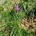 Dactylorhiza maculata (L.) Soo<br />Orchidaceae<br /><br />Orchide macchiata.<br />Orchis tacheté.<br />Gewöhnliches Geflecktes Knabenkraut.
