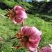 Lilium martagon L.<br />Liliaceae<br /><br />Giglio martagone.<br />Lis martagon.<br />Türkenbund.<br />