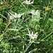 Leontopodium alpinum Cass.<br />Asteraceae<br /><br />Stella alpina.<br />Edelweiss.<br />Edelweiss.