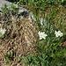 Achillea erba-rotta subsp. muschata (Wulfen) Vacc.<br />Asteraceae<br /><br />Millefoglio del granito.<br />Achillée musquée.<br />Moschus-Schafgarbe.<br />