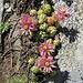 Sempervivum montanum L.<br />Crassulaceae<br /><br />Semprevivo montano.<br />Joubarbe des montagnes.<br />Berg-Hauswurz.<br />