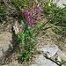 Epilobium angustifolium L.<br />Onagraceae<br /><br />Epilobo, Garofanino maggiore.<br />Epilobe à feuilles étroites.<br />Wald-Weiderröschen.